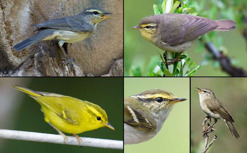 Wanted: Your Sound Recordings of Leaf Warblers