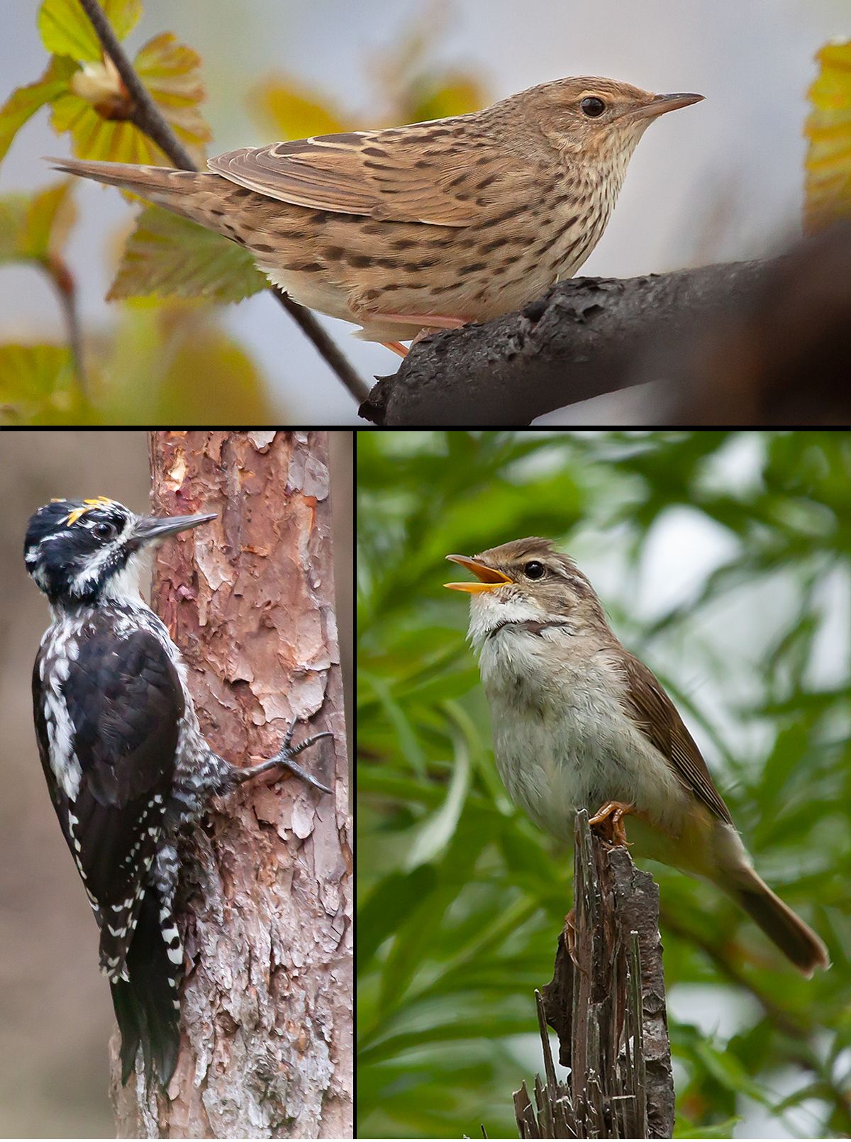 sikhote-forest-birds
