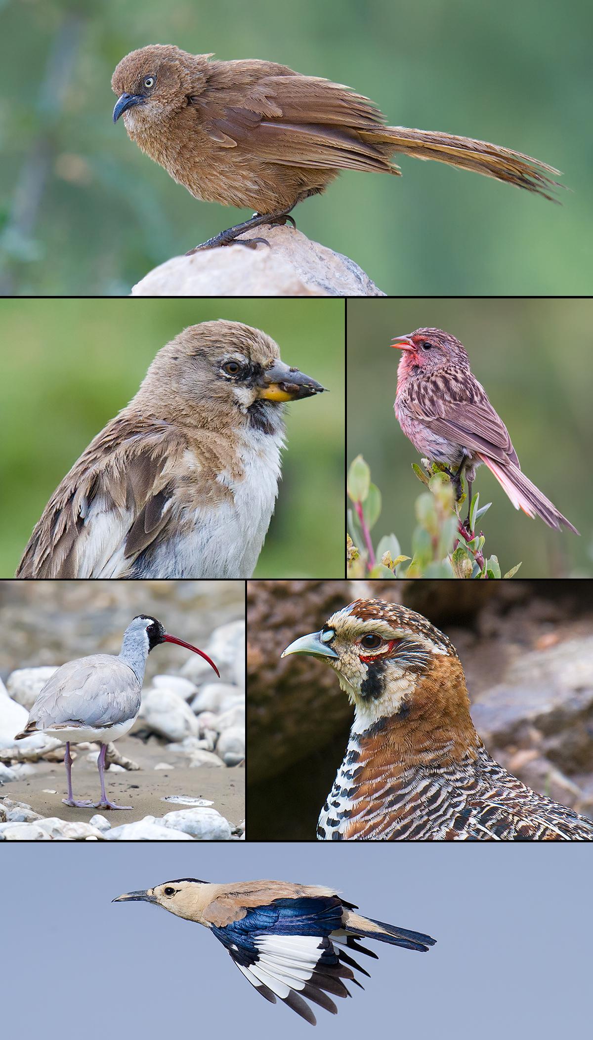 qinghai birds