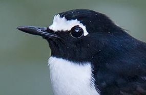 Black-backed Forktail