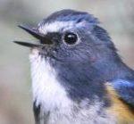 Gansu Bluetail