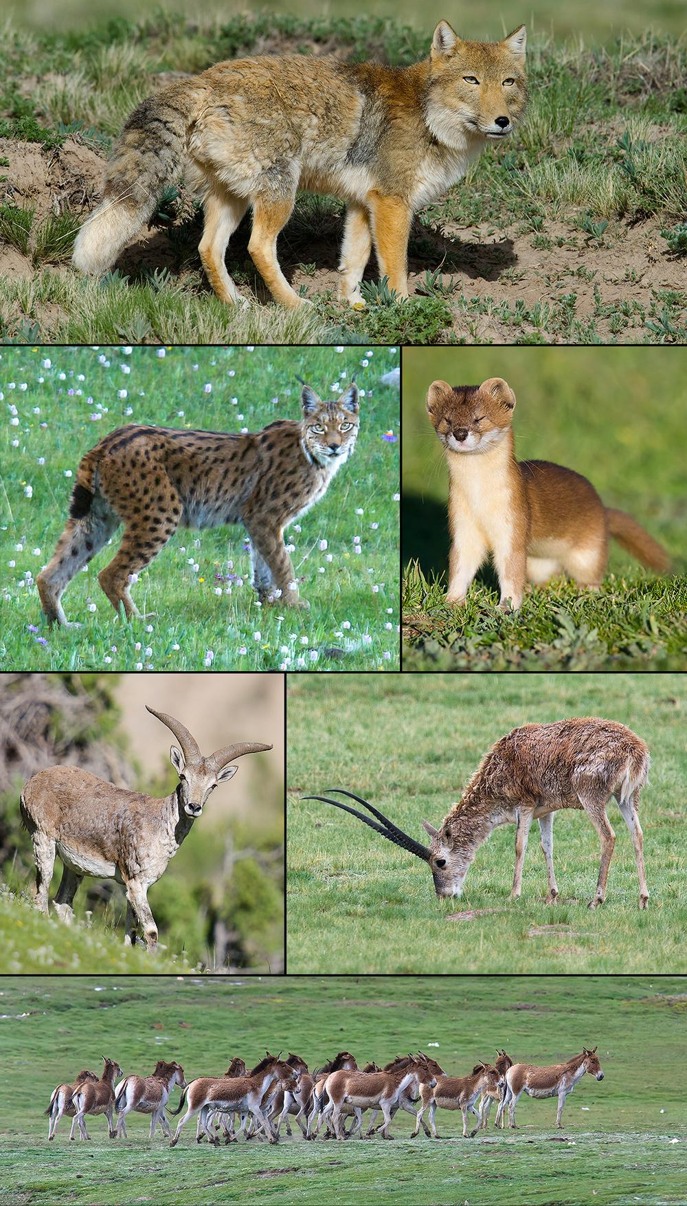 mammals-qinghai