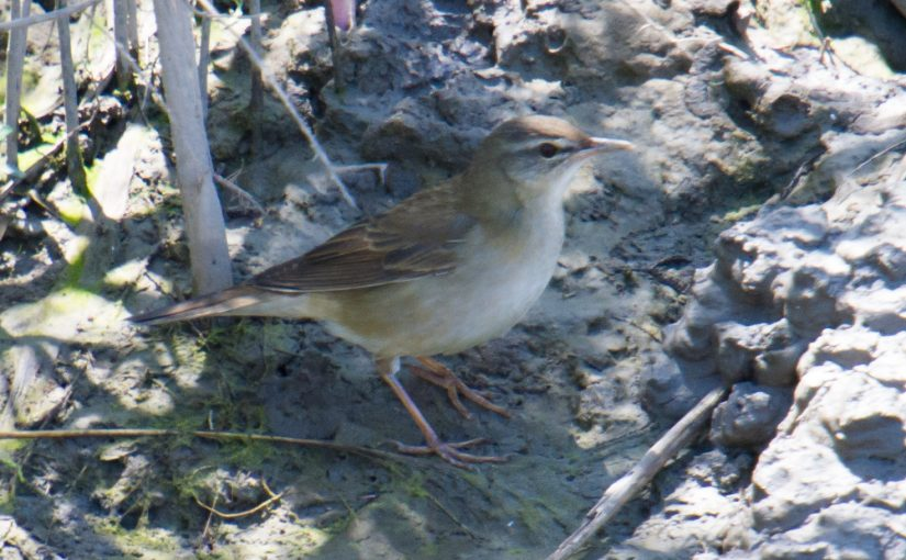 The Day Middendorf's Grasshopper Warbler Appeared at Cape Nanhui, Shanghai