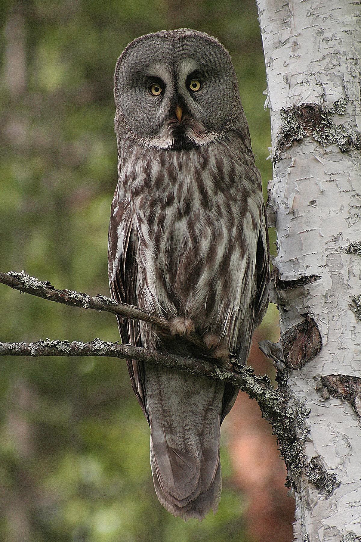 Great Grey Owl in China | Shanghai Birding 上海观鸟