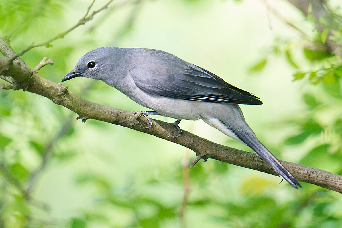 Black-winged Cuckooshrike