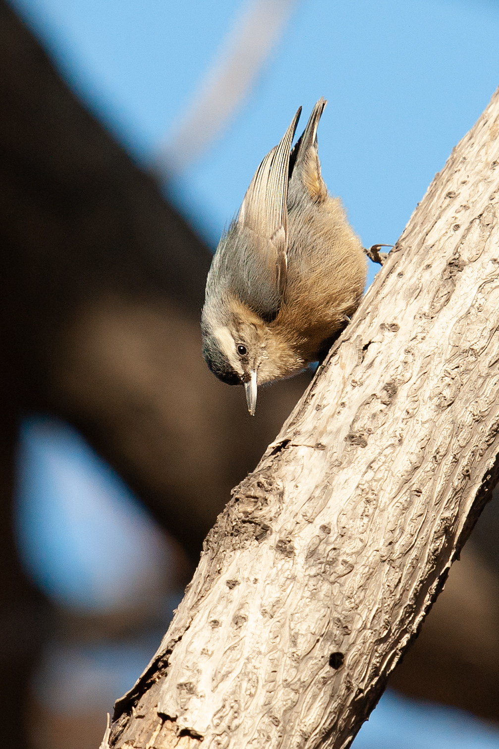 Chinese Nuthatch