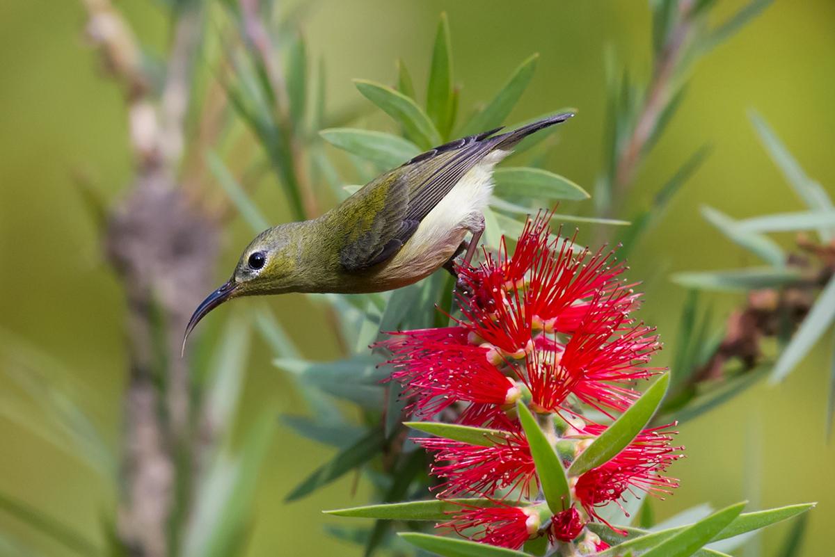 Fork-tailed Sunbird