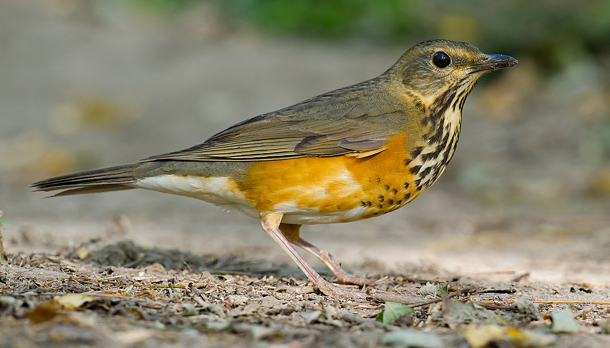 Grey-backed Thrush