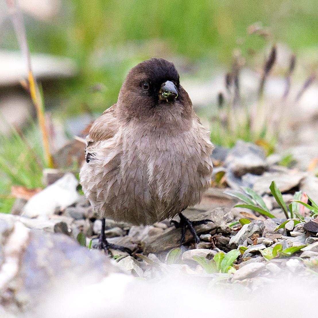 Brandt's Mountain Finch