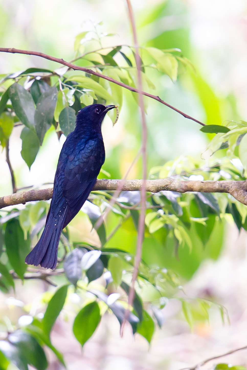 Fork-tailed Drongo-Cuckoo