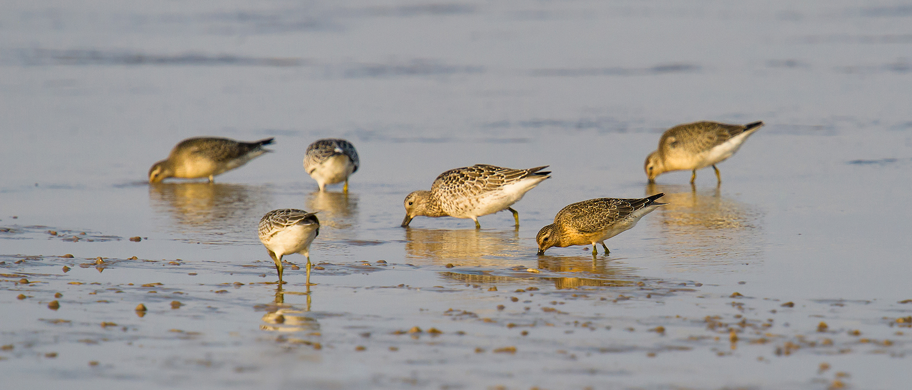 Red Knot with Great Knot