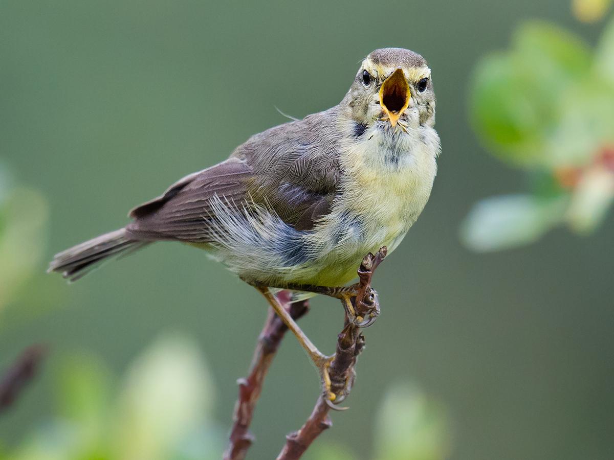Alpine Leaf Warbler