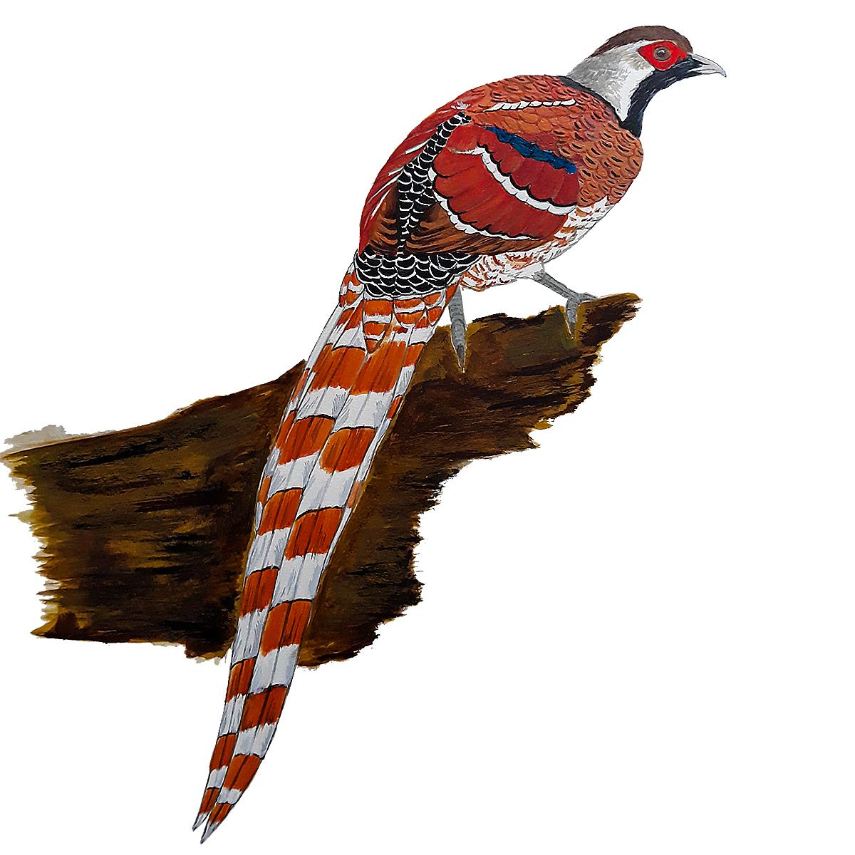 Elliot's Pheasant