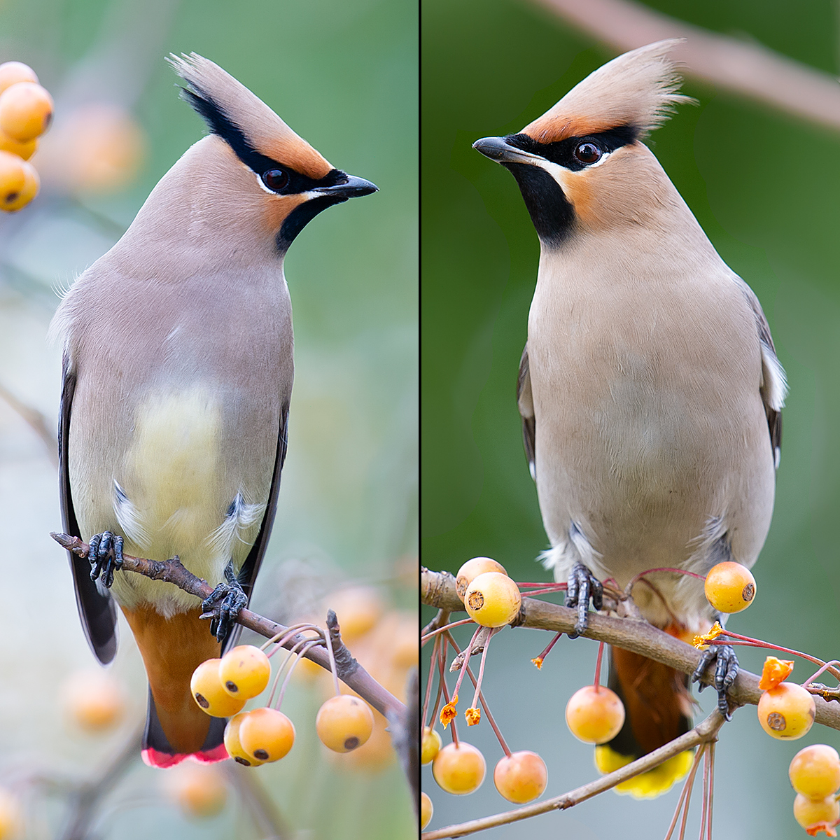 Waxwing Bellies