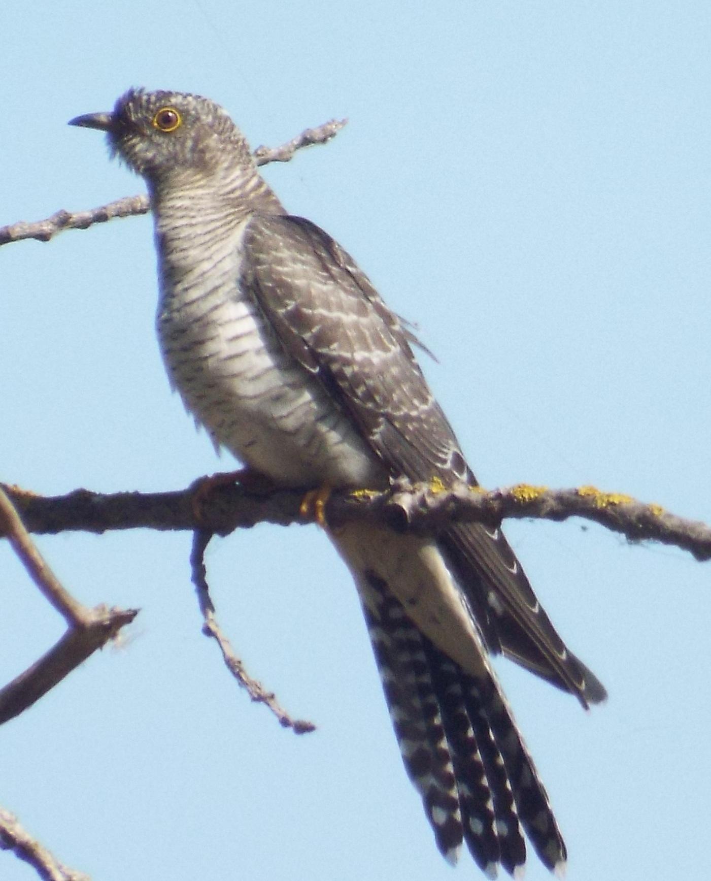 chisnall-cuckoo2