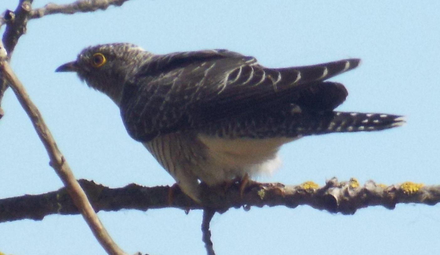 chisnall-cuckoo3