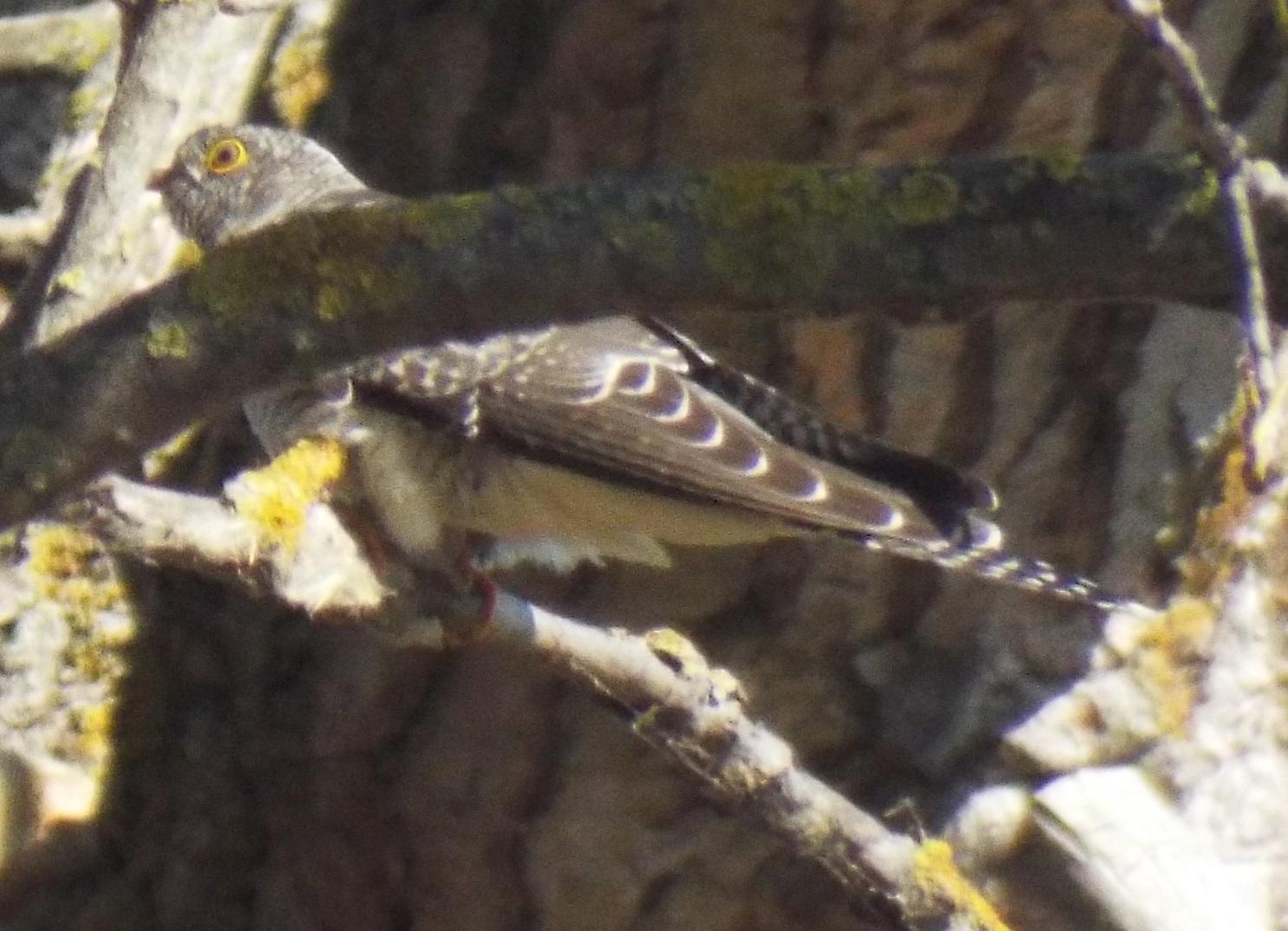 chisnall-cuckoo4