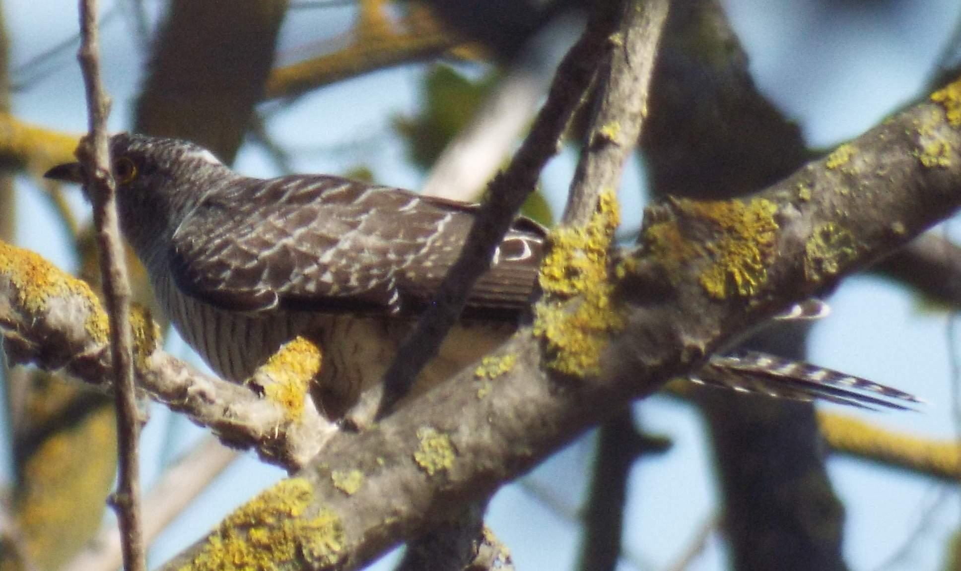 chisnall-cuckoo5