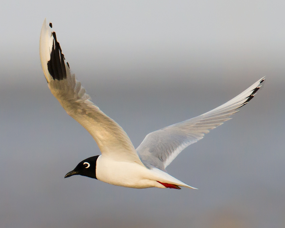 Saunders's Gull