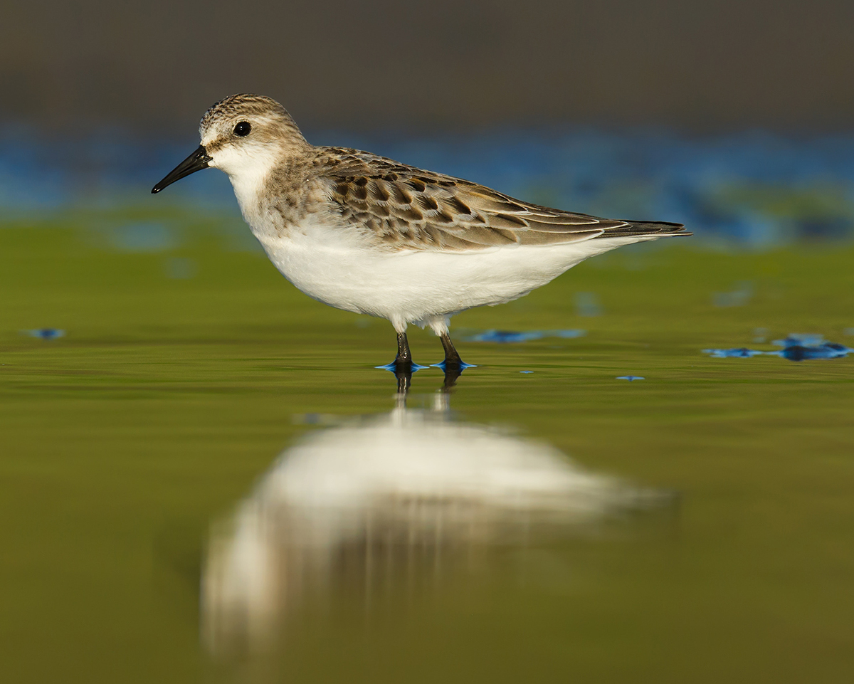 red-necked-stint