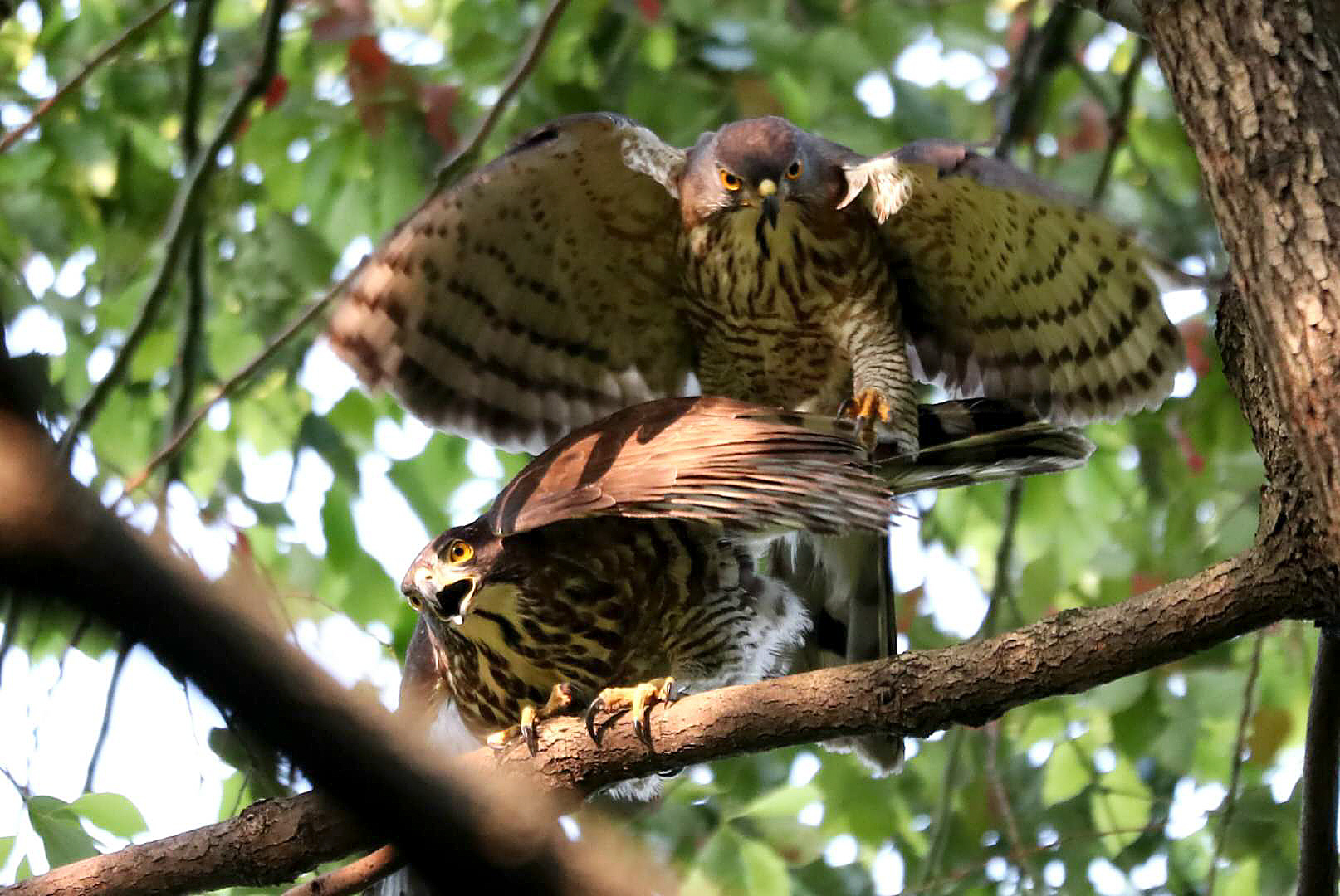 Crested Goshawk Mating