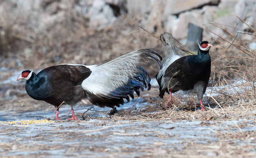 Brown Eared Pheasant at Xuanzhong Temple, Shanxi