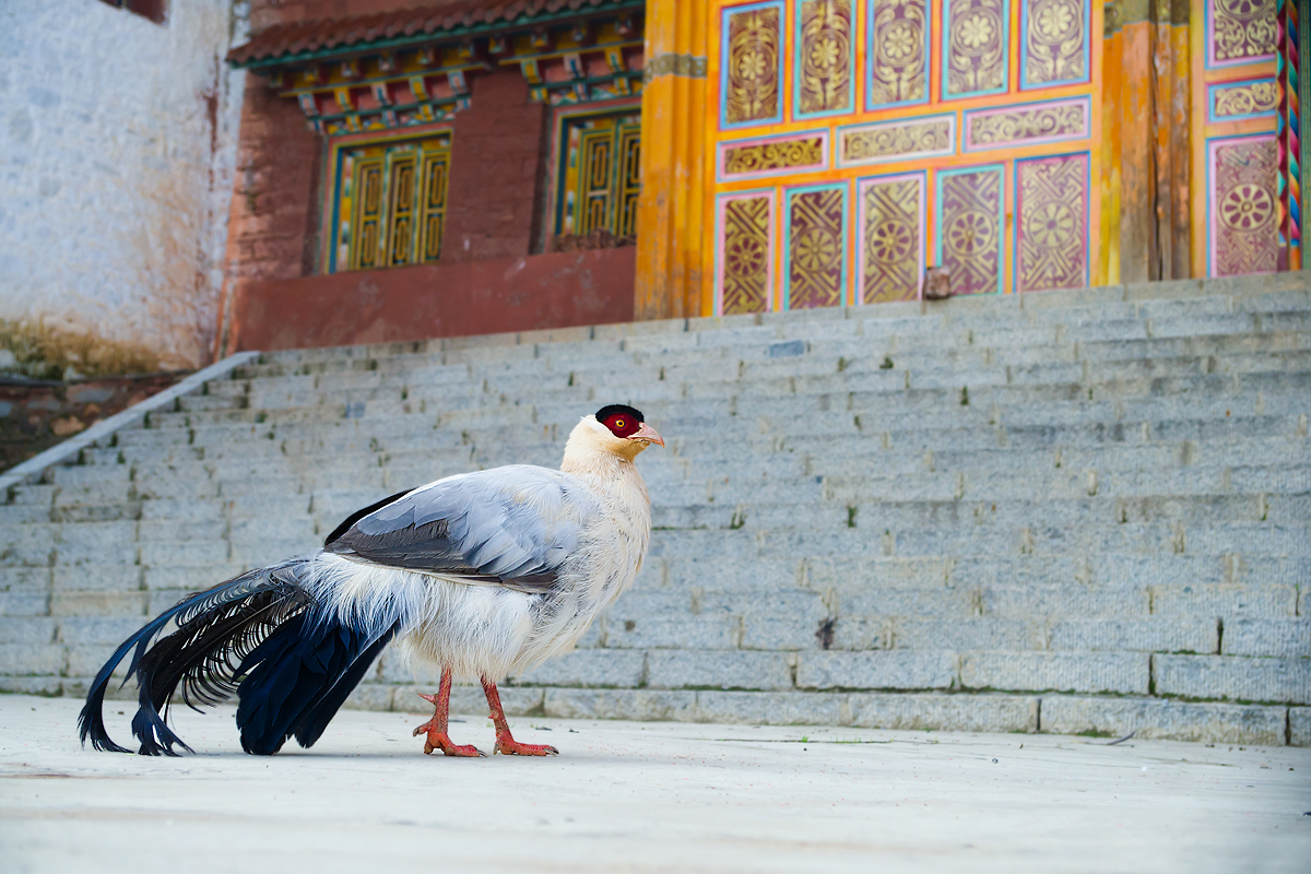 White Eared Pheasant