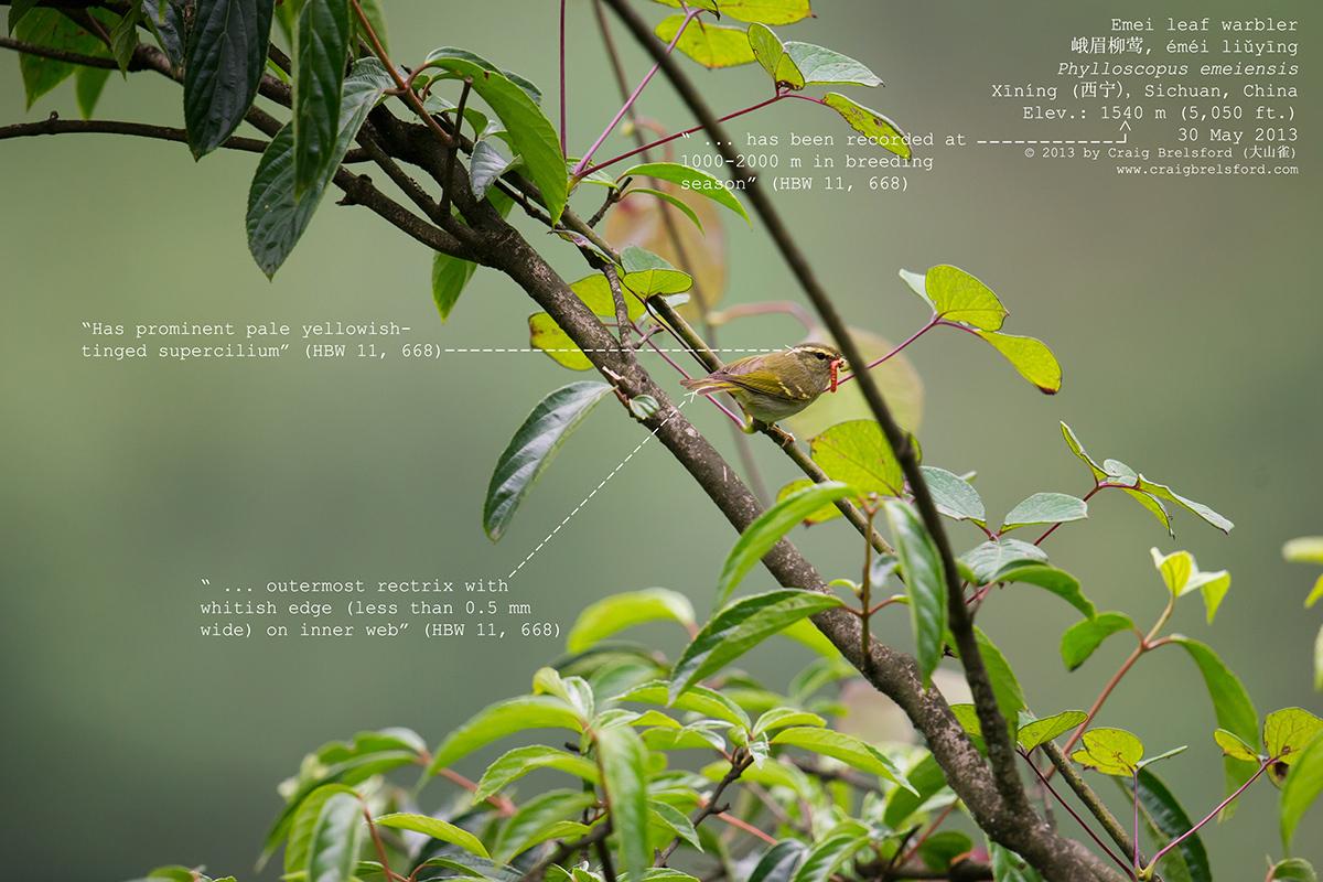 Emei Leaf Warbler