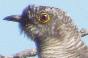 chisnall-cuckoo2-small