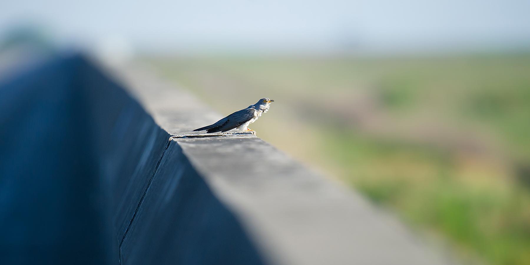 Common Cuckoo