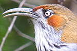Grey-sided Scimitar Babbler