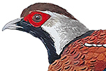 Elliot's Pheasant-thumb