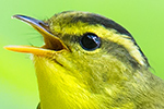 Sulphur-breasted Warbler-thumb