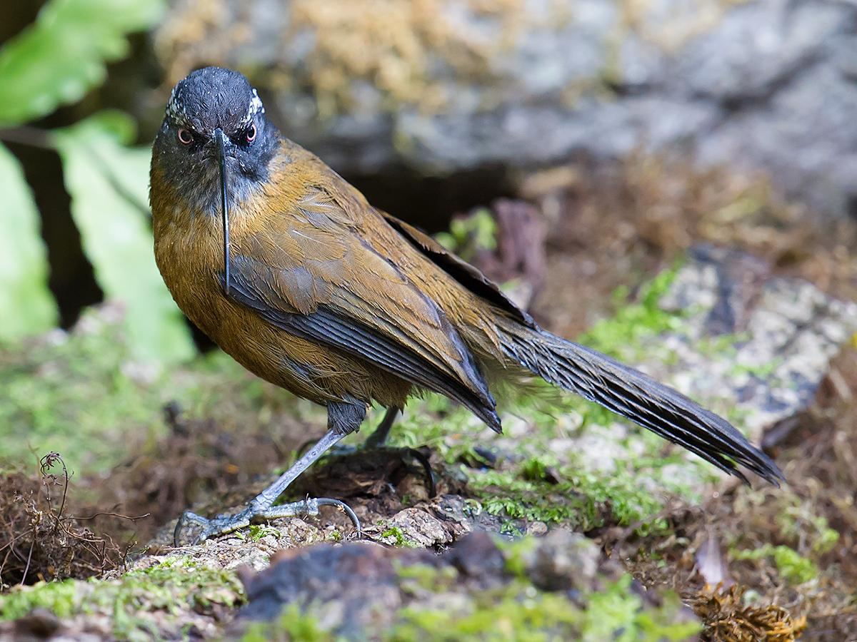 Slender-billed Scimitar Babbler