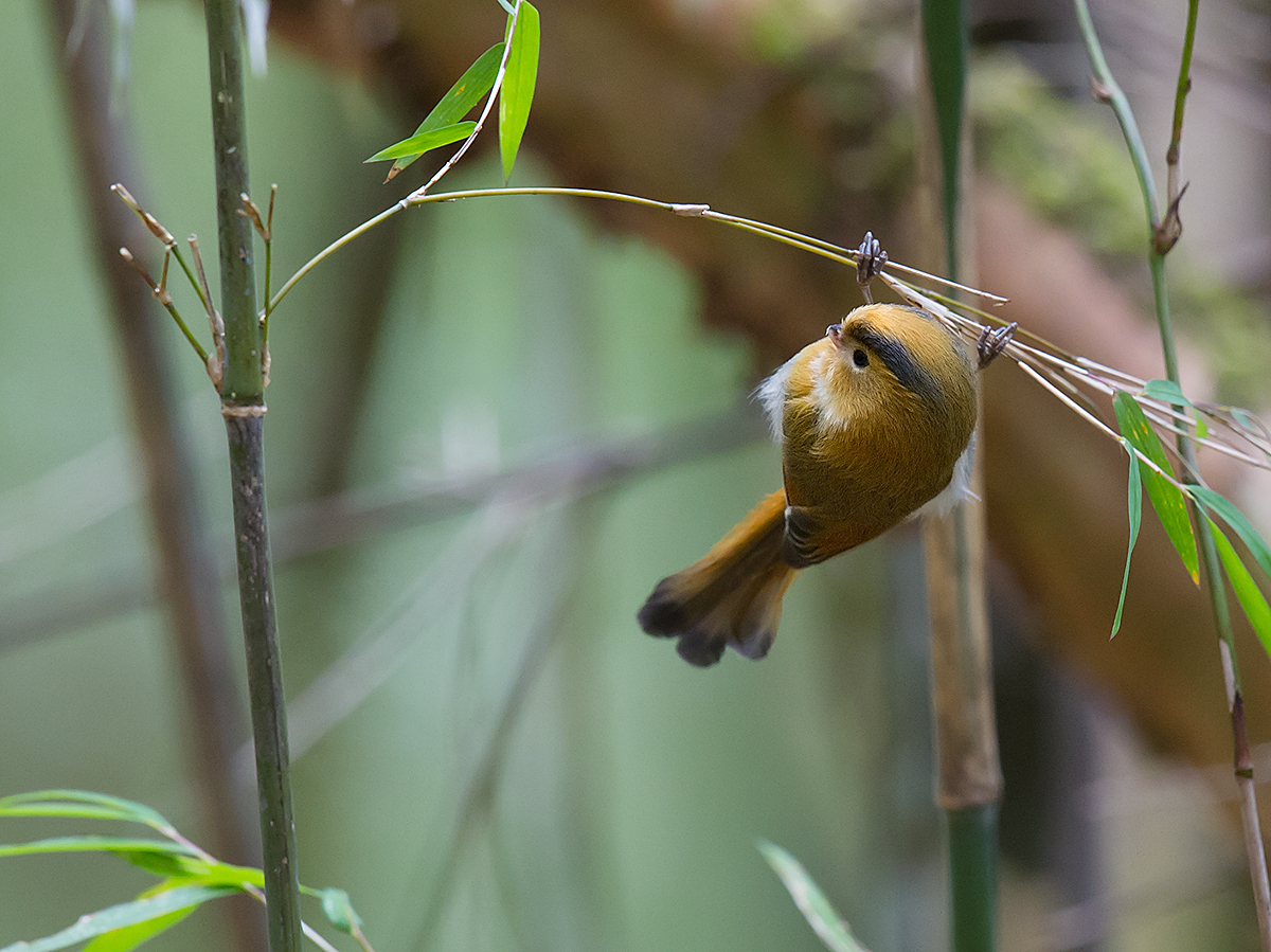Fulvous Parrotbill