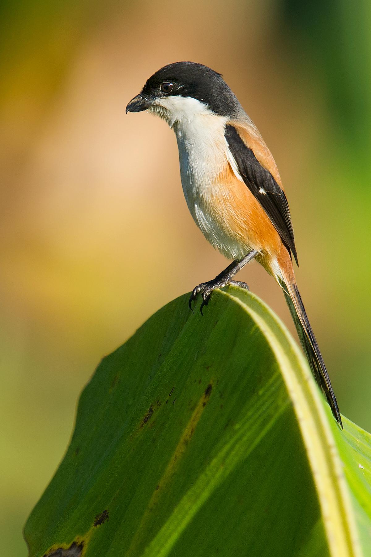 Long-tailed Shrike tricolor