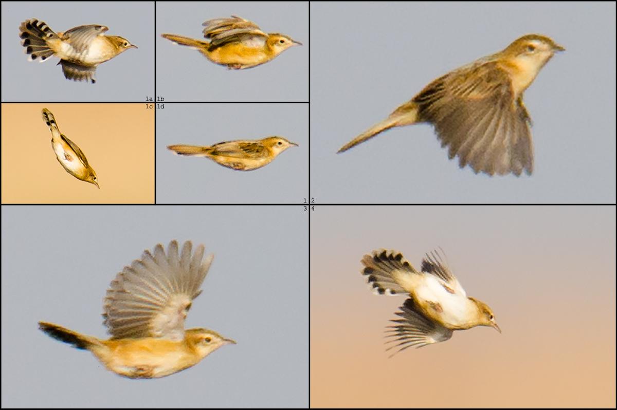 Zitting Cisticola in flight