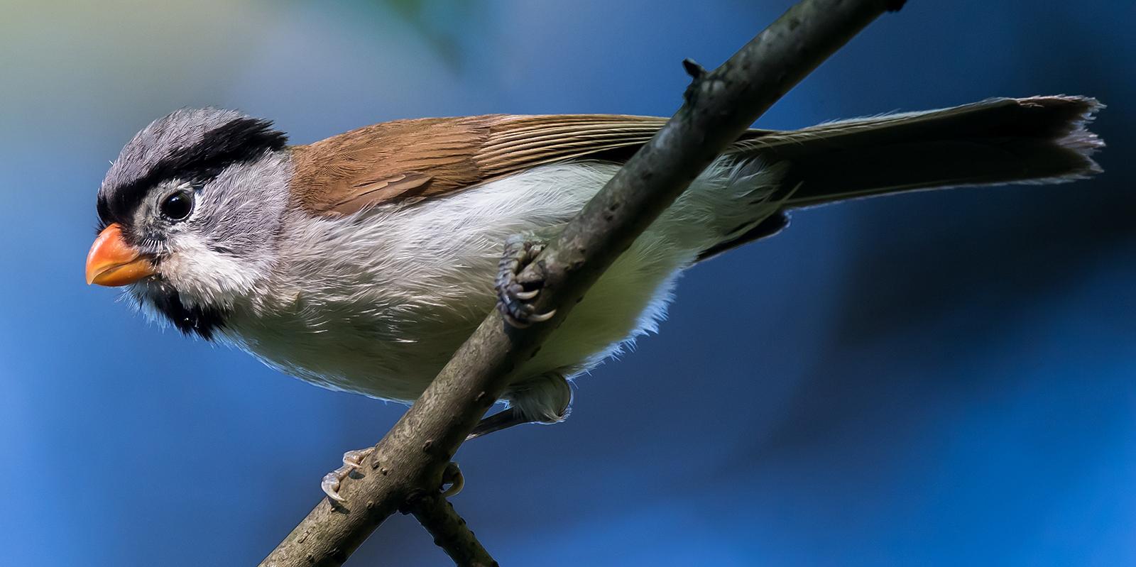 Grey-headed Parrotbill