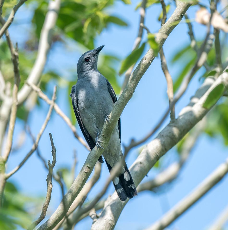 Black-winged Cuckoshrike
