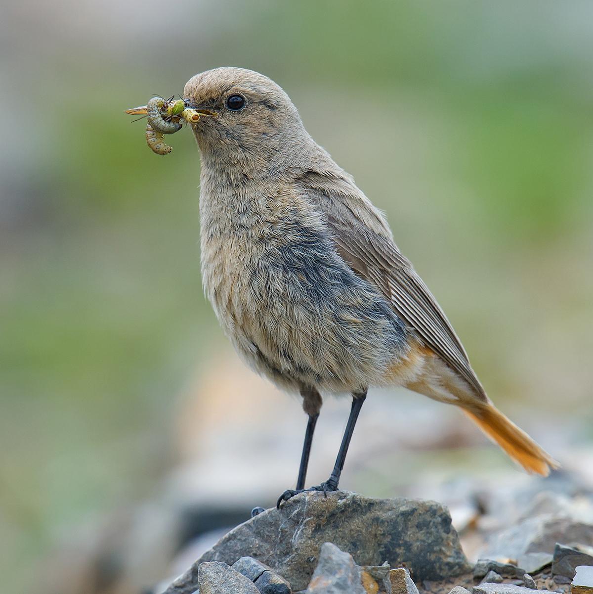 Güldenstädt's Redstart (White-winged Redstart)