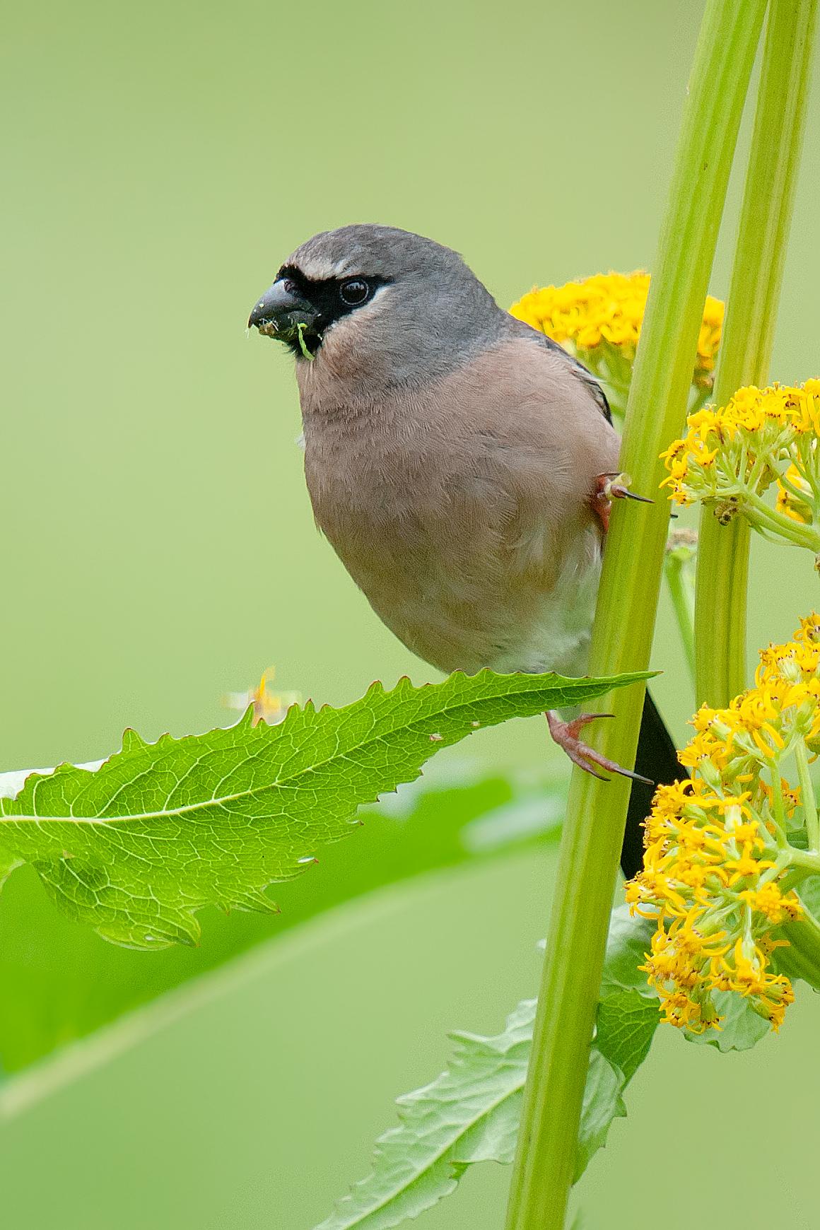 Grey-headed Bullfinch
