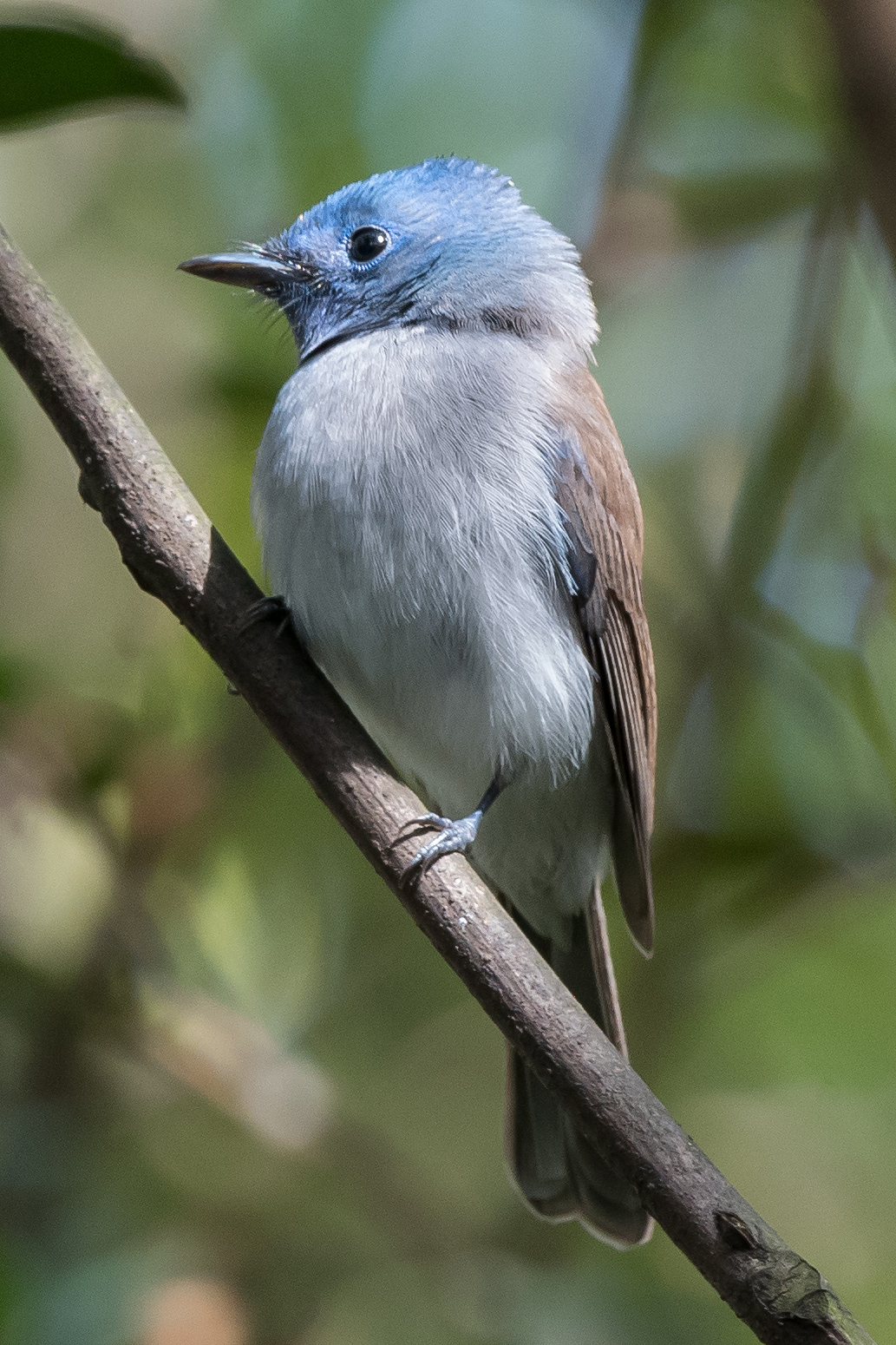 Black-naped Monarch, Wusong-Paotaiwan Park, Shanghai. Photo by Kai Pflug.