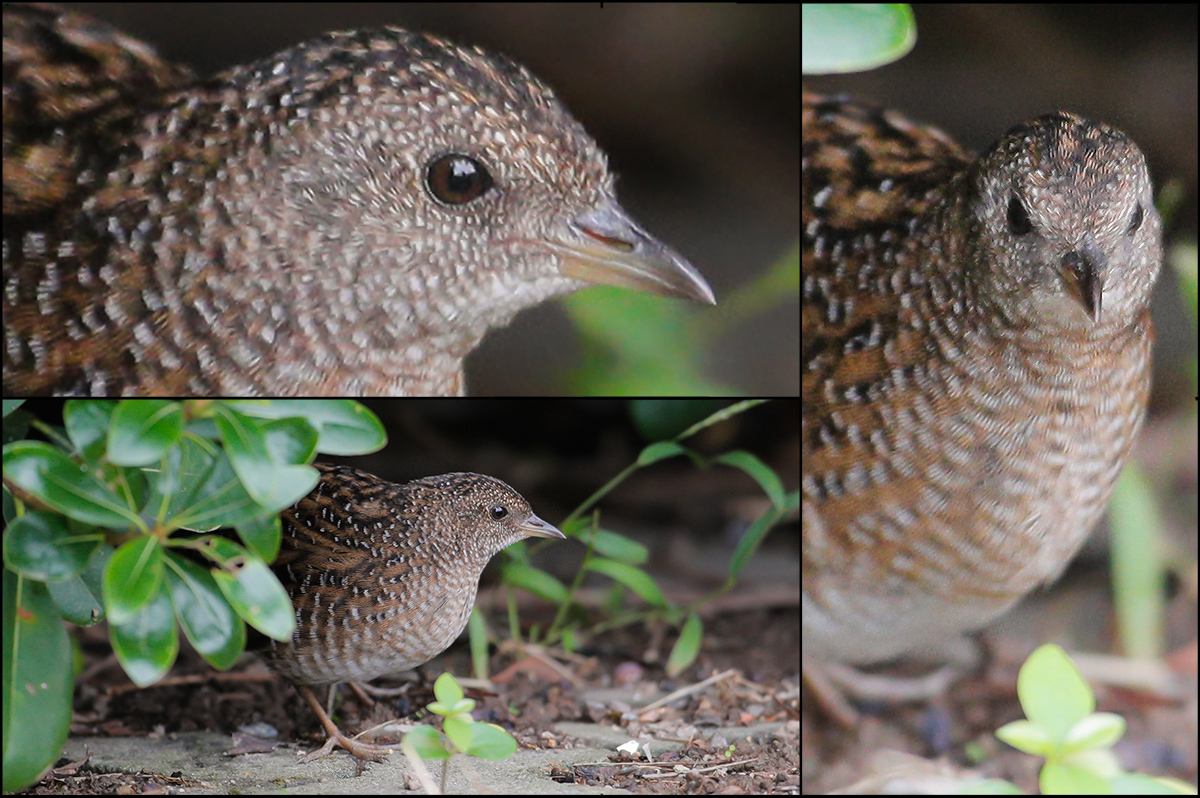 Swinhoe's Rail Coturnicops exquisitus, Magic Parking Lot, Nanhui, Shanghai, Sat. 29 Oct. 2016. One of the rarest birds in China. Photographed by Shanghai photographer Chén Qí (陈骐; net name 上海爷胡子). © 2016 by Chén Qí. Used with permission.