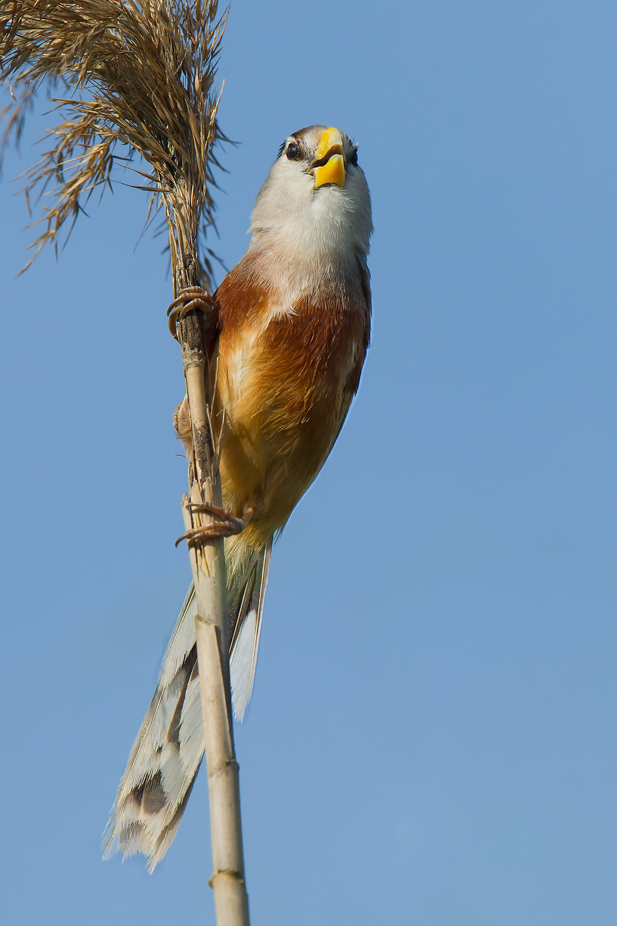 Reed Parrotbill, Nanhui, 17 May 2016.