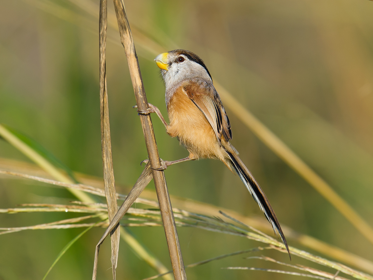 Reed Parrotbill, Iron Track, 5 Nov. 2016.