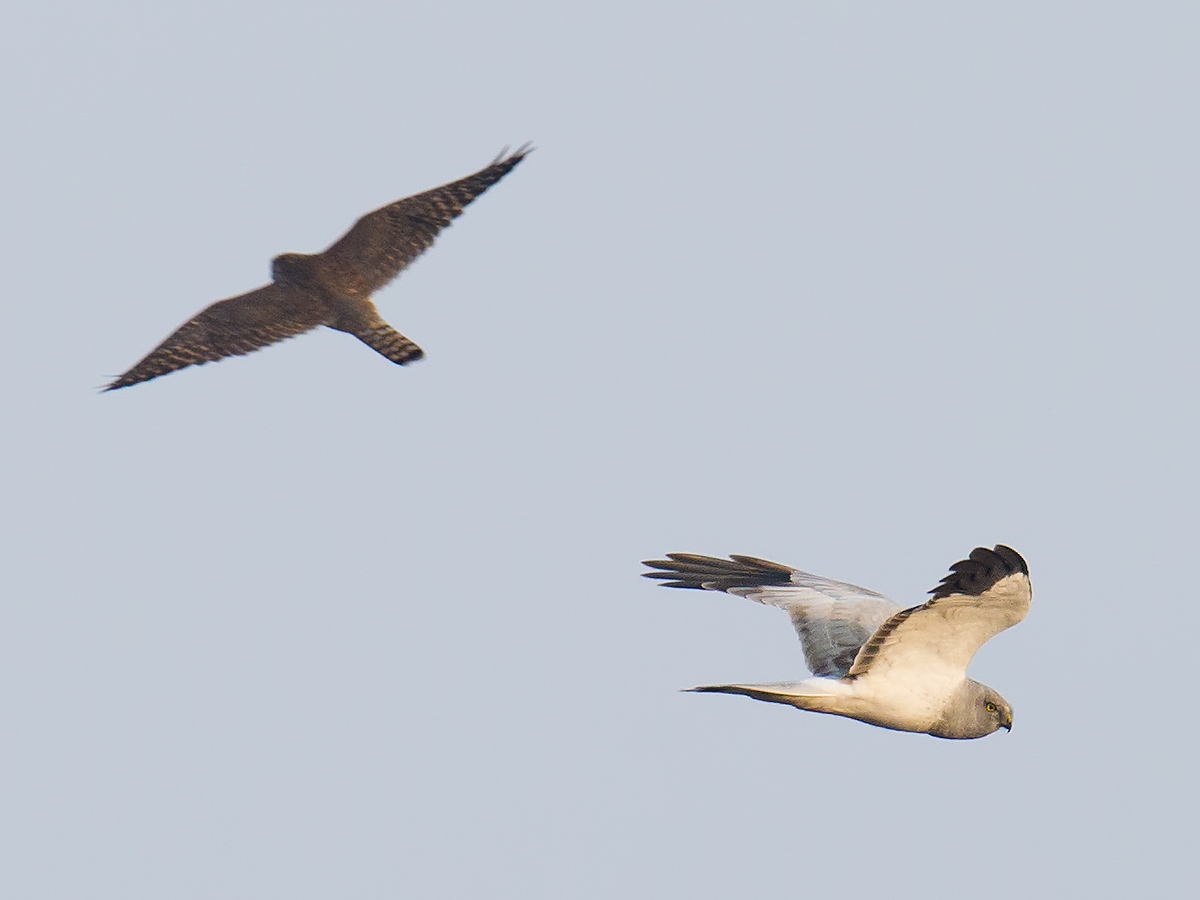 Hen Harrier with Peregrine Falcon, Hengsha, 6 Dec. 2016. Craig Brelsford.