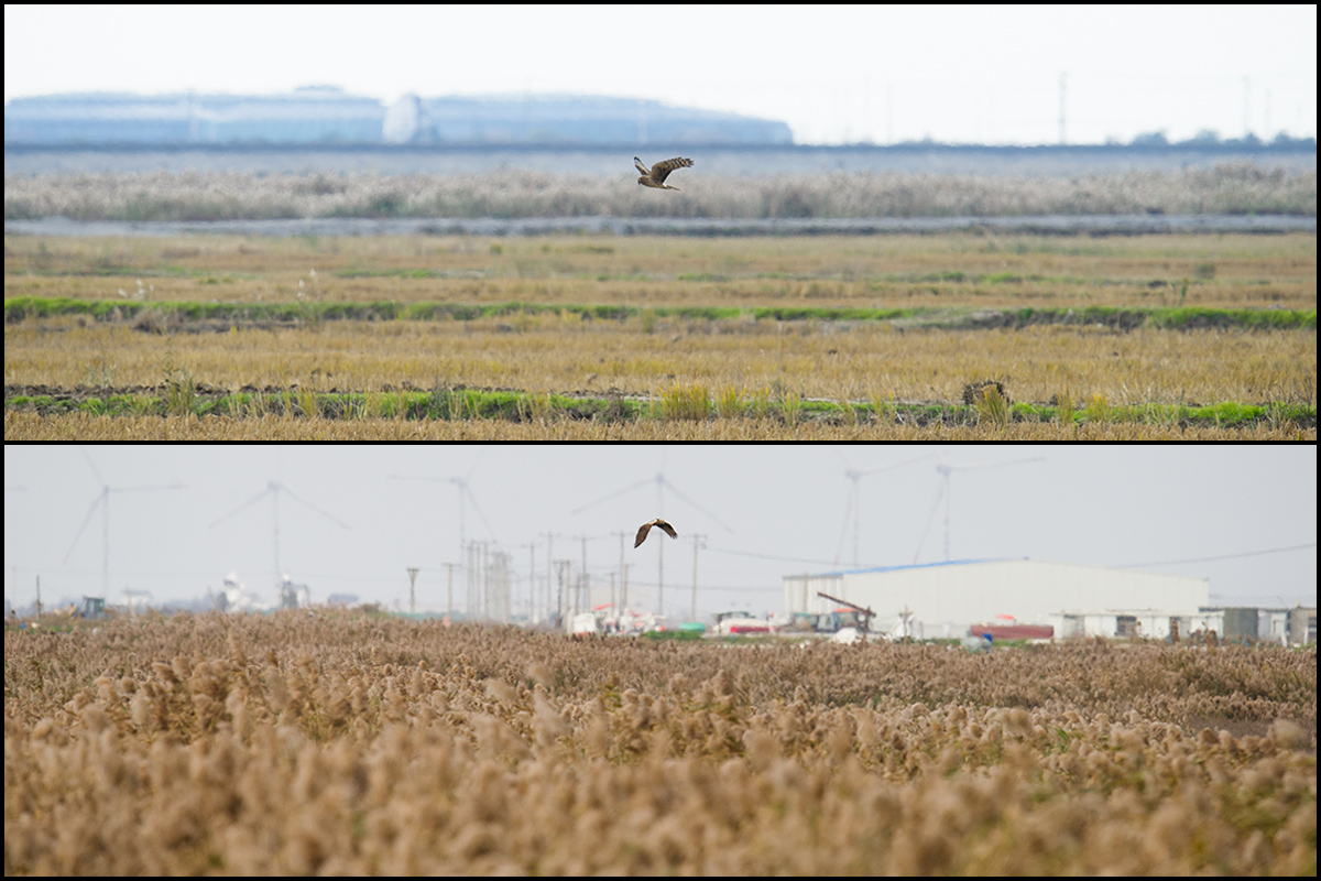 "Hen Harrier (top) and Eastern Marsh Harrier, Cape Nanhui, 10 Dec. 2016. These photos show both the threats to the tip of the Shanghai Peninsula and the environmental opportunities still there. On the one hand, buildings and roads continue to encroach on the reed beds; the large farm building in the bottom photo was completed only in the past year. Further encroachments will erode the quality still further and deprive species such as Reed Parrotbill of even more habitat. On the other hand, habitat good enough to attract harriers remains. In the bottom photo, the harrier is flying directly over the reed bed (<a href=""https://www.google.com/maps/place/30%C2%B055'46.2%22N+121%C2%B057'37.1%22E/@30.929492,121.9581253,872m/data=!3m2!1e3!4b1!4m5!3m4!1s0x0:0x0!8m2!3d30.929492!4d121.960314"" target=""_blank"">30.929492, 121.960314</a>) adjacent to the defunct wetland reserve. This reed bed covers a square kilometer, is untouched, and provides habitat critical to species dependent on reeds, such as Near Threatened <a href=""http://www.iucnredlist.org/details/22715480/0"" target=""_blank"">Marsh Grassbird</a> and <a href=""http://www.iucnredlist.org/details/22721016/0"" target=""_blank"">Japanese Reed Bunting</a>. In the top photo, the untouched reed bed is visible in the mid-ground, with the harrier making use of adjacent rice fields. Even small reserves can be effective, especially if bordered by agricultural areas. If managed correctly, a small to mid-sized reserve at Cape Nanhui would cost little, deliver much, and give environmental face to Shanghai. Photos by Craig Brelsford."
