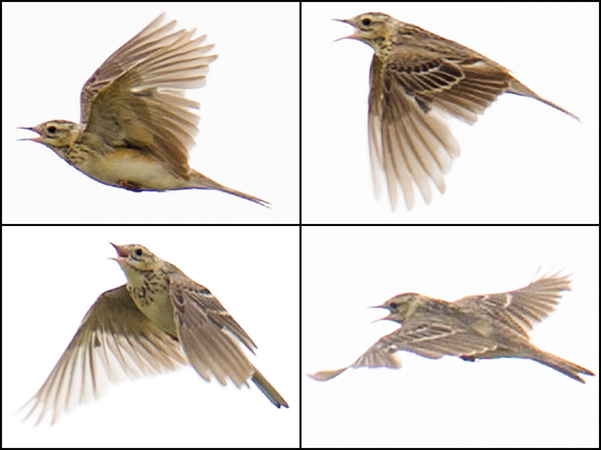 More views of Blyth's Pipit performing flight song. Alström writes that in flight, Blyth's Pipit 'often recalls one of the smaller pipits rather than Richard's' (237). 22 July 2015, Hulunbeier. Craig Brelsford.