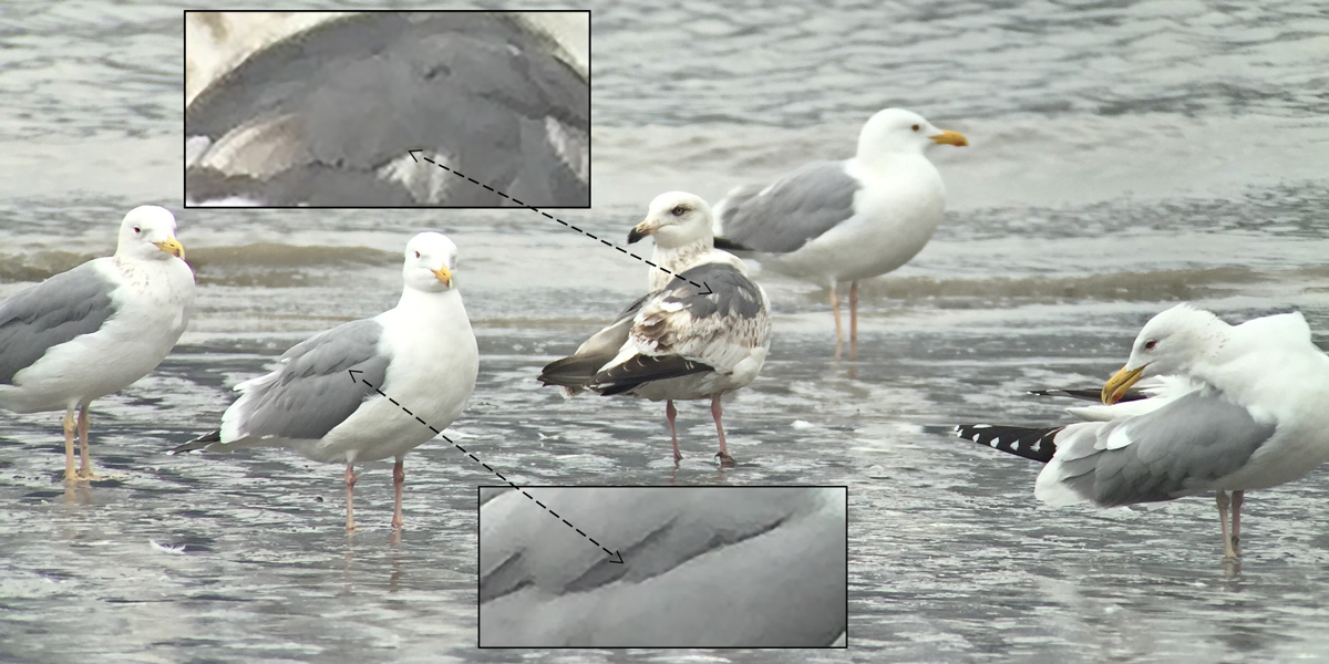 By its second winter, Slaty-backed Gull (C) shows a mantle darker than that of all other gulls in our region. Note the contrast in mantle color between Larus schistisagus and the adult Vega Gull L. vegae vegae/mongolicus surrounding it. Photo by Craig Brelsford using iPhone 6 and PhoneSkope adapter attached to my Swarovski ATX-95 spotting scope.