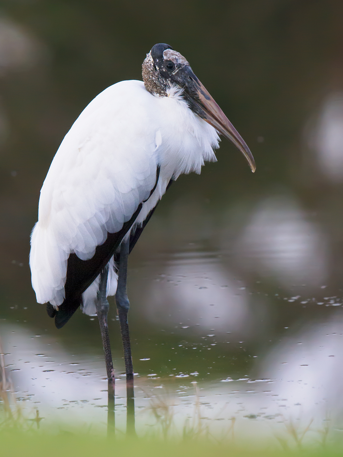 Wood Stork Mycteria americana at a pond at the entrance to my parents' subdivision in Debary, Florida, 24 Jan. 2017.